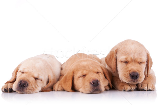 Pequeño labrador retriever cachorros dormir tres adorable Foto stock © feedough