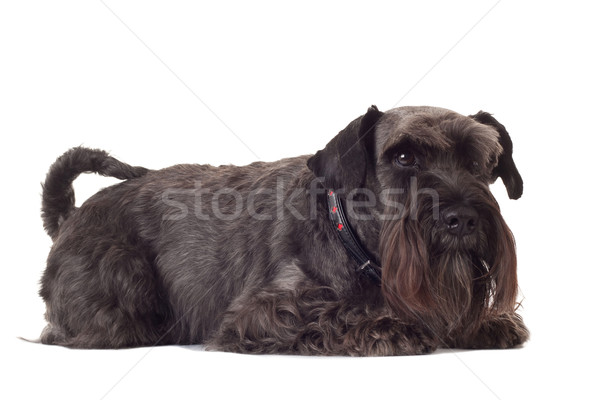 small black schnauzer Stock photo © feedough