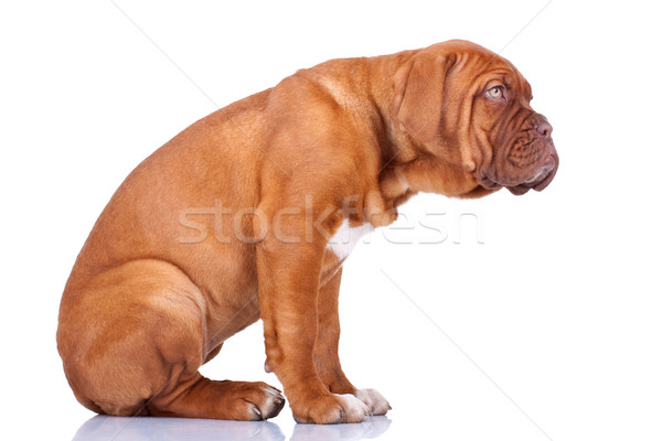 seated Dogue de Bordeaux puppy Stock photo © feedough