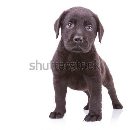 alert black labrador retriever standing Stock photo © feedough