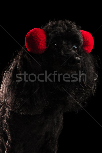 side view of a cute poodle wearing red fur earmuffs  Stock photo © feedough