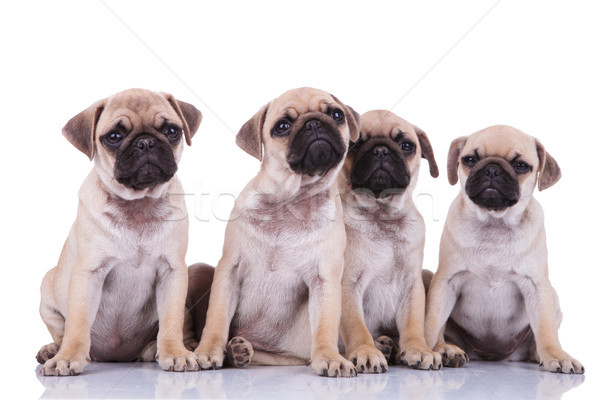adorable seated pug group looking up and making puppy eyes Stock photo © feedough