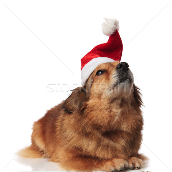 adorable brown metis dog lying with santa hat looks up Stock photo © feedough
