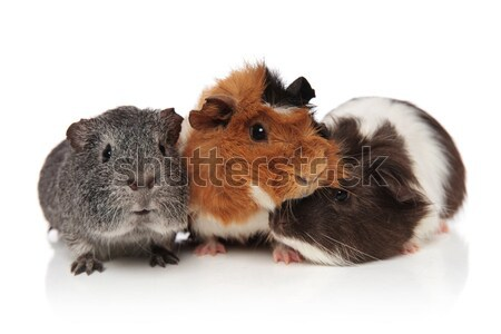 three lovely guinea pigs playing Stock photo © feedough