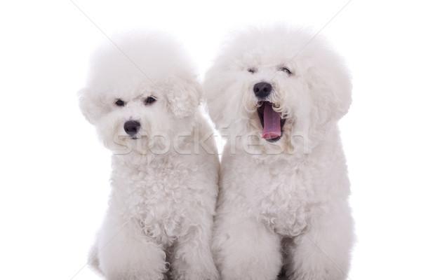 funny dogs  Stock photo © feedough