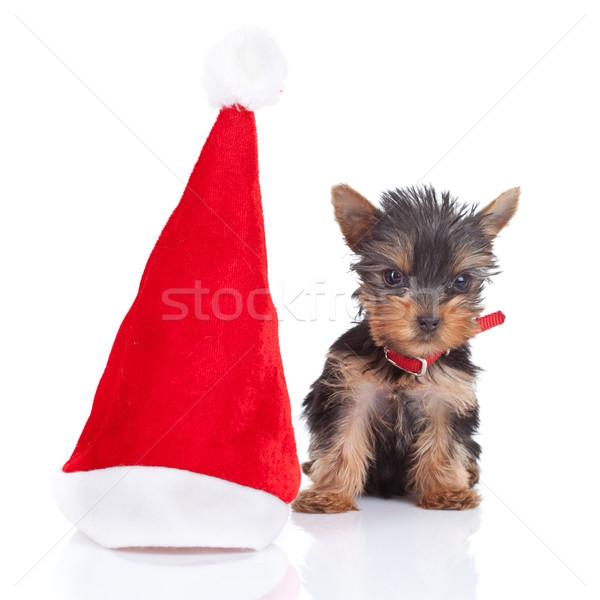 happy yorkie toy  Stock photo © feedough