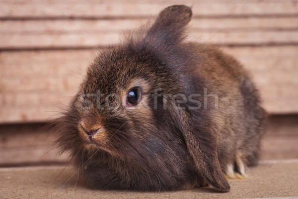 furry lion head rabbit bunny sitting on wood background Stock photo © feedough