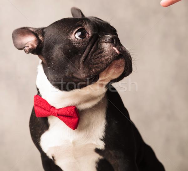 Stockfoto: Elegante · frans · bulldog · Rood · poseren