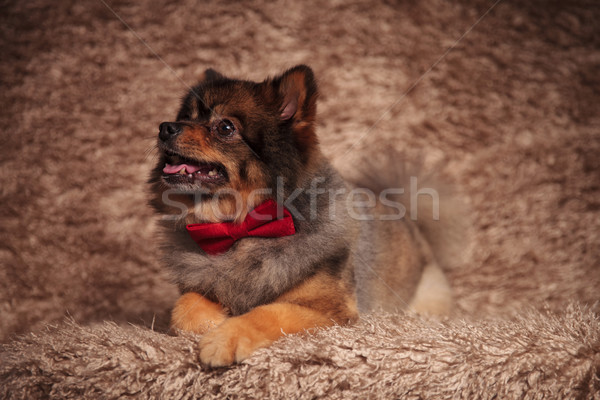 close up of curious lying pomeranian looking up and side Stock photo © feedough