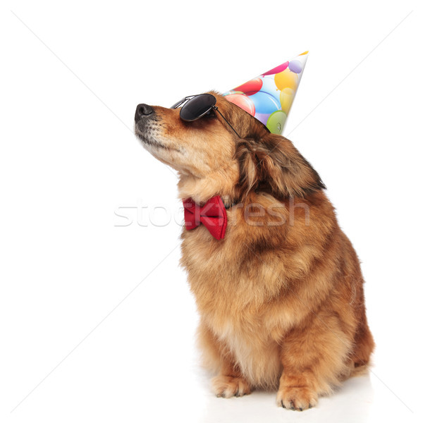 stylish dog with sunglasses looking for its birthday treat Stock photo © feedough