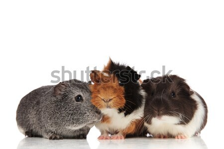 three cute guinea pigs looking in different sides Stock photo © feedough