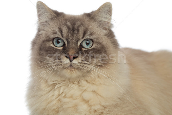 close up of adorable cat with grey eyes and fur Stock photo © feedough