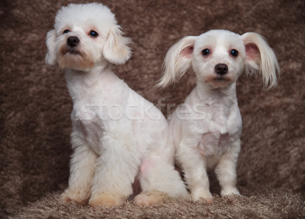 surprise bichon couple sitting on brown fur with wide eyes Stock photo © feedough