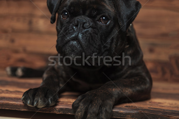 adorable black boxer lying and looking up to side Stock photo © feedough