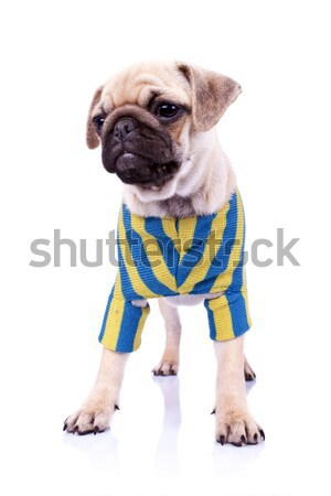 dressed standing  pug puppy dog looking to a side Stock photo © feedough