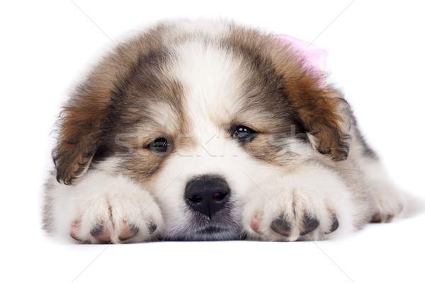 álmos kutyakölyök kép áll fehér háttér Stock fotó © feedough
