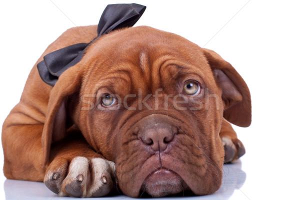 Francês mastim cão jovem animal Foto stock © feedough
