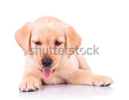 Zihálás labrador retriever kutyakölyök kutya fekszik imádnivaló Stock fotó © feedough
