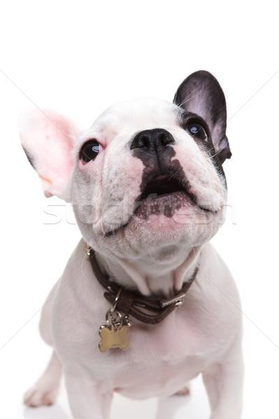 alert little french bulldog puppy barking Stock photo © feedough
