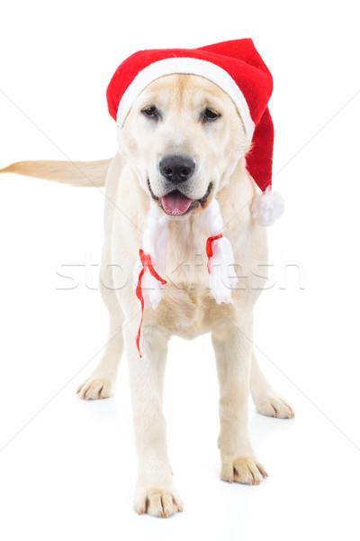 Cute papá noel labrador retriever perro pie blanco Foto stock © feedough