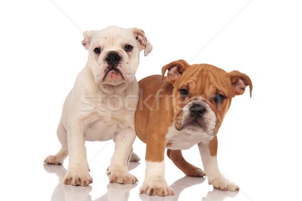 two adorable english bulldog puppies playing together  Stock photo © feedough