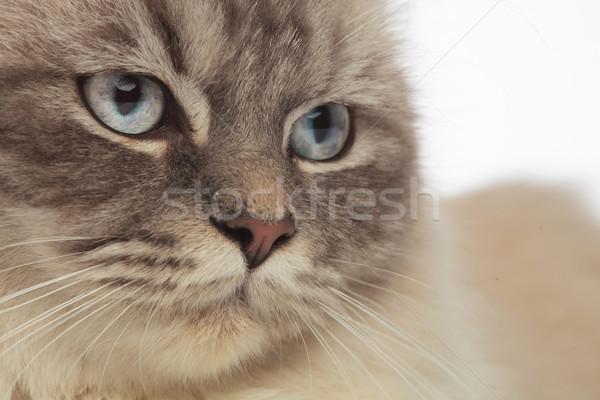 Gris chat tête yeux bleus côté Photo stock © feedough