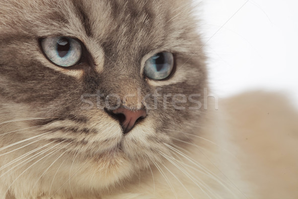 Gris gato cabeza ojos azules lado Foto stock © feedough