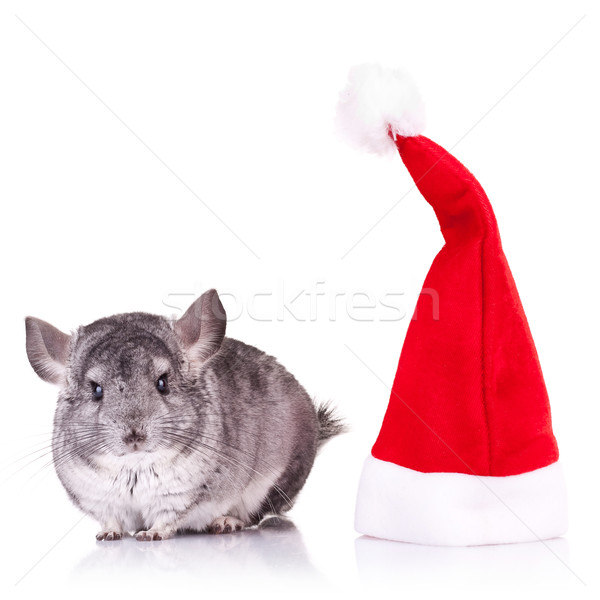 Chinchilla permanent rouge chapeau cute Photo stock © feedough