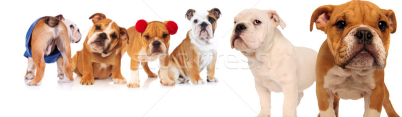 group of six english bulldogs  Stock photo © feedough