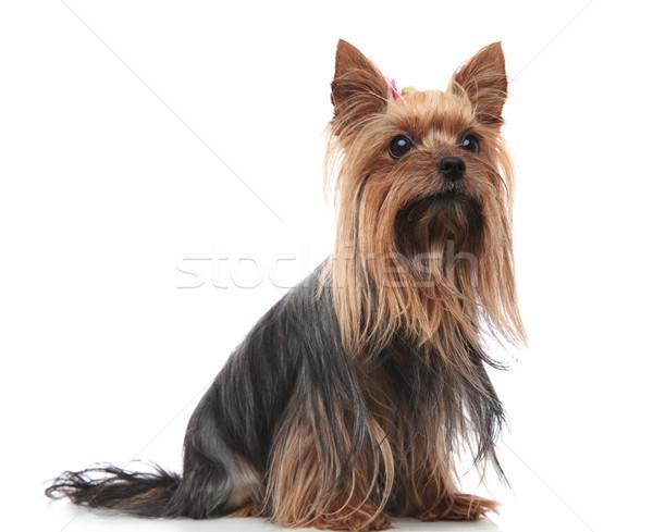 Curioso femenino terrier cachorro perro sesión Foto stock © feedough