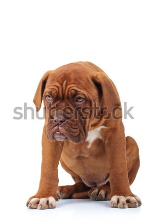 sorrowful little puppy is sitting Stock photo © feedough
