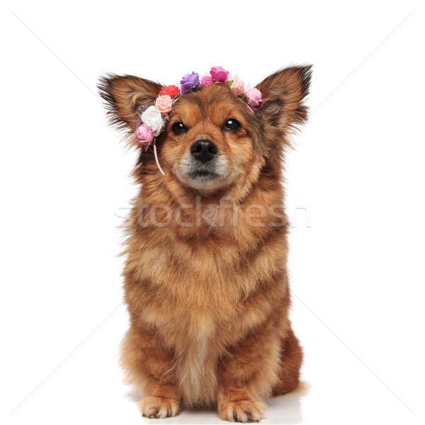 lovely metis dog with flowers headband is ready for spring Stock photo © feedough