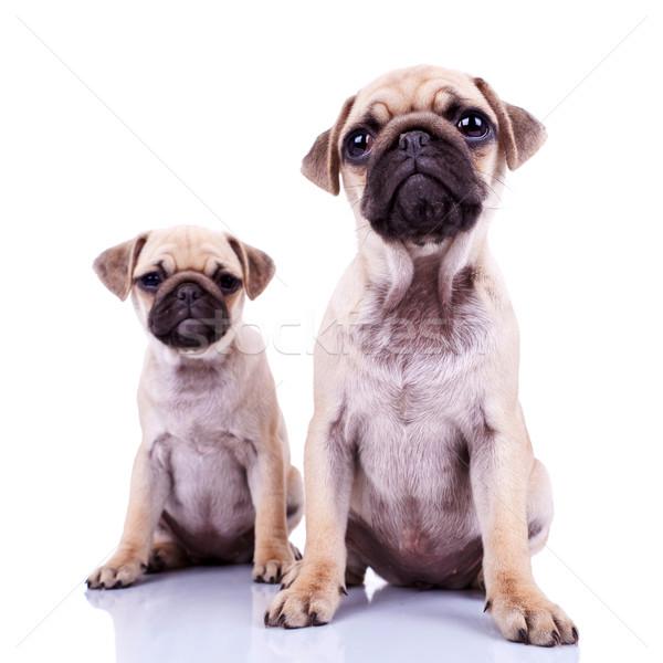 Stok fotoğraf: çift · köpek · yavrusu · köpekler · oturma · beyaz · sevimli