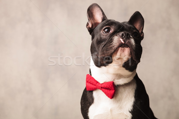 french bulldog wearing a red bowtie while posing looking up Stock photo © feedough