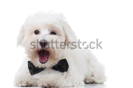 excited bichon puppy is barking Stock photo © feedough