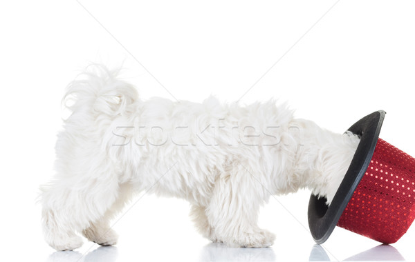 bichon puppy trying on a top hat  Stock photo © feedough