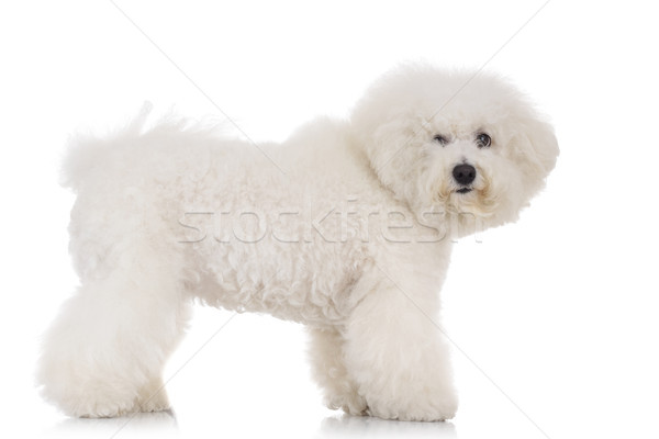 side view of a standing bichon frise puppy dog  Stock photo © feedough