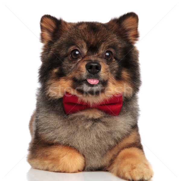 adorable lying pom with tongue exposed and red bowtie Stock photo © feedough