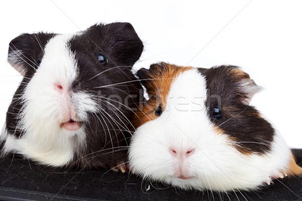 two cute guinea pigs  Stock photo © feedough