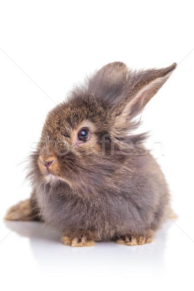 Picture of a cute lion head rabbit bunny sitting Stock photo © feedough