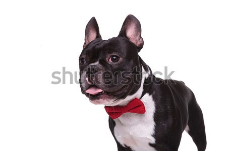 side of a panting french bulldog puppy wearing bow tie  Stock photo © feedough