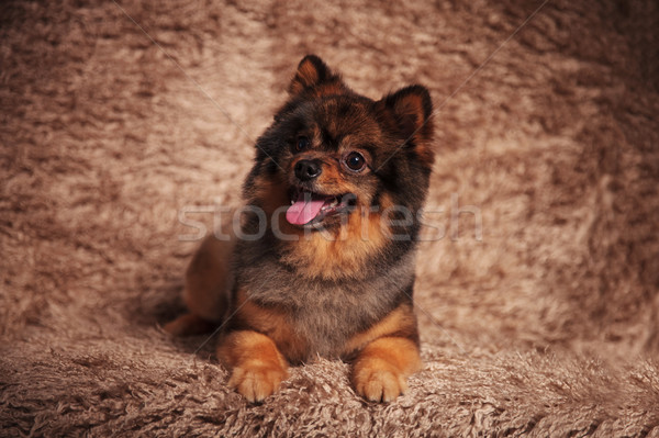 adorable pomeranian puppy panting and looking to side Stock photo © feedough