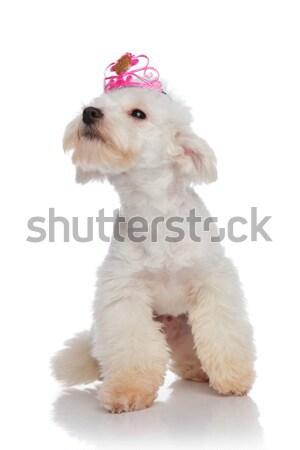 curious bichon looking up to side while wearing pink crown Stock photo © feedough