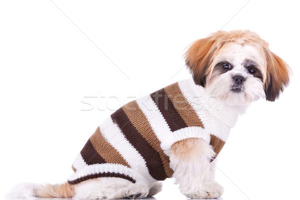 cute little dressed shih tzu puppy Stock photo © feedough