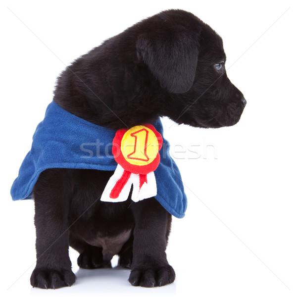 Pequeno campeão bonitinho preto labrador cachorro Foto stock © feedough