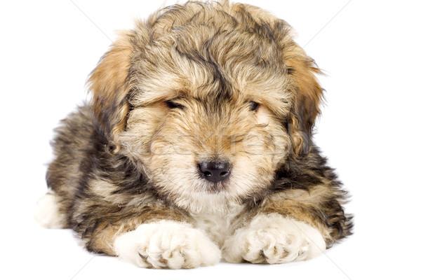 Aranyos kicsi szőr labda kép kutyakölyök Stock fotó © feedough