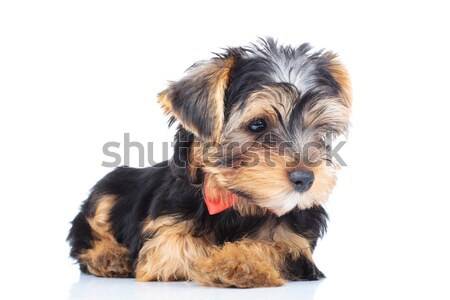 side view of a little yorkie puppy looking away Stock photo © feedough