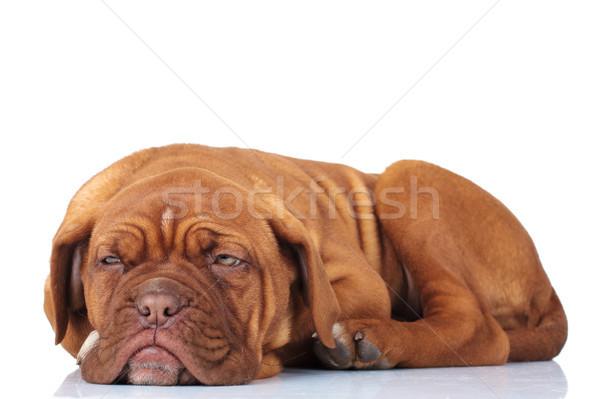 側面図 疲れ フランス語 マスチフ 子犬 準備 ストックフォト © feedough