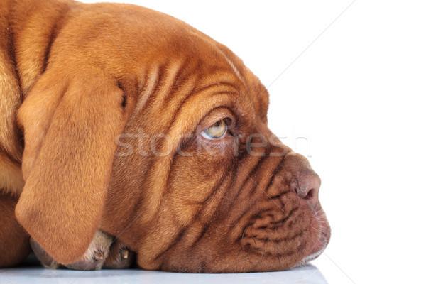 Lato primo piano foto assonnato triste francese Foto d'archivio © feedough