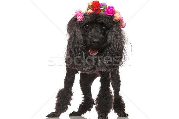Boldog fekete uszkár visel virágok korona Stock fotó © feedough